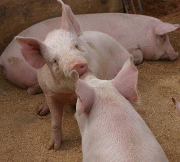 web中標津の豚.jpg